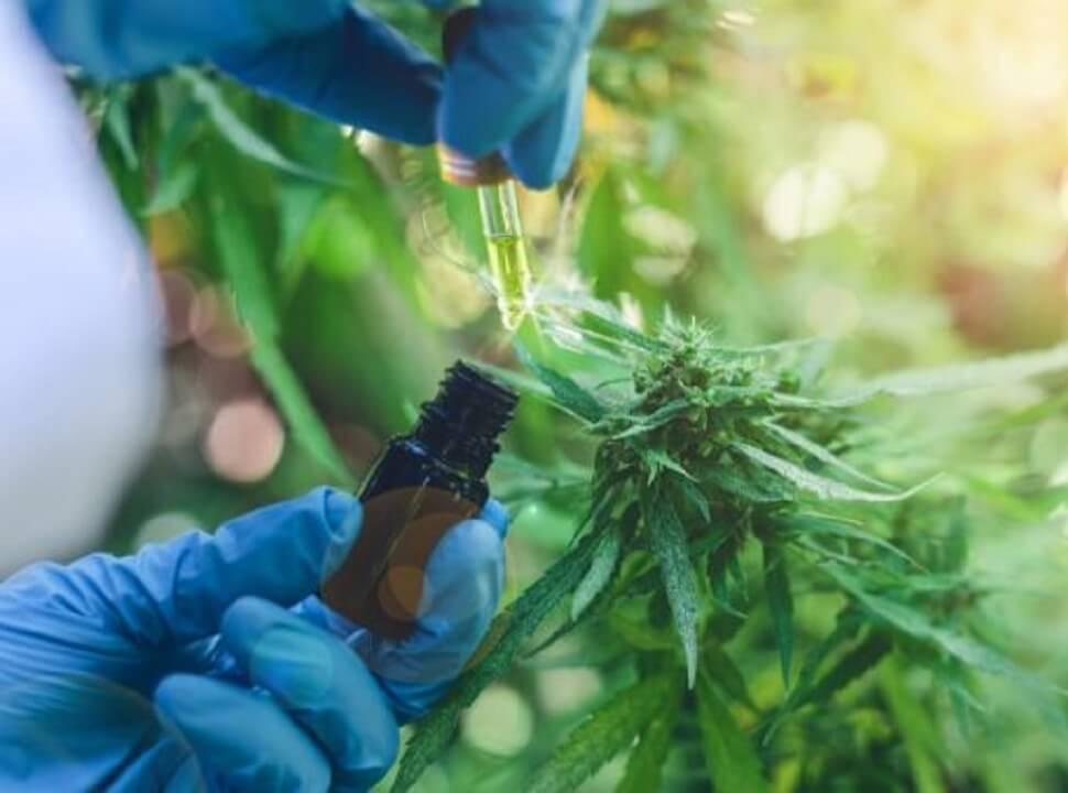 San Martín habilitará el autocultivo de cannabis para uso medicinal